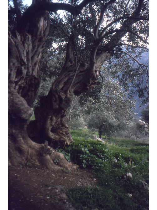 Fantastic tree in Greece, 1979